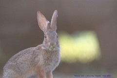 You Looking At Me?..... (law_keven) Tags: rabbit wildrabbit animals mammals grandcanyon usa america bunny bunnies