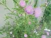 035 (en-ri) Tags: fiorellini verde rosa sony sonysti little flowers