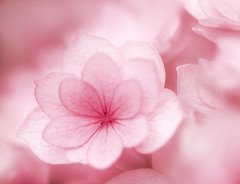 Hydrangea Macrophylla (Inna Karpova) Tags: hydrangeamacrophylla hydrangea garden outdoor photography flower pink summer selectivefocus doubleexposure incamera