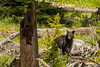 Babe in the woods {Explored} (ChicagoBob46) Tags: blackbear bear cub yearling yellowstone yellowstonenationalpark nature wildlife explore explored coth5 ngc