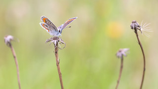 Bruin blauwtje - Brown argus - Aricia agestis