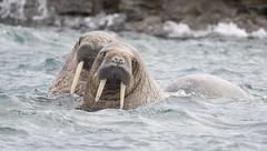 Walruses, Nunavut, Canada. (richard.mcmanus.) Tags: canada nunavut dundasharbour walrus mammal mcmanus wildlife lancastersound baffinisland pinniped arctic gettyimages