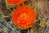 CAE001125a (jerryoldenettel) Tags: 170808 2017 barrelcactus cactaceae caryophyllales coreeudicots elephantbuttelake ferocactus ferocactuswislizenii nm sierraco wildflower cactus damsite flower