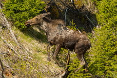 Out from under (ChicagoBob46) Tags: moose cowmoose cow yellowstone yellowstonenationalpark nature wildlife coth5