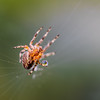 Wanna Play Catch? (DobingDesign) Tags: spider garden macro macrophotography web creature arachnid droplet legs holdingraindrop ball water moist moisture raindrop spiderweb insect creepycrawlie rain spidersilk