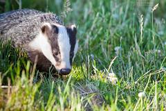 Badger (RichardBeech) Tags: badger animal wild wildlife nature dorset weymouth evening grass outdoors melesmeles canon5dmarkiii canon100400mm canon zoom brock stopthecull teambadger savebadgers