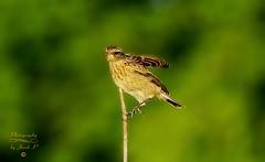 Skylark (Jurek.P) Tags: birds bird skowronek skylark eurasianskylark ptaki ptak wildnature jurekp sonya77