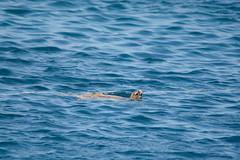 Green Sea Turtle (Chelonia mydas) (Jan Ranson) Tags: 2017 egypt egypte cheloniamydas greenseaturtle