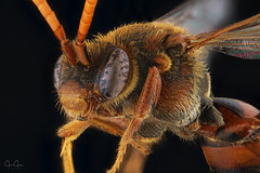 Nomad bee (John Joslin) Tags: antenna a7 macro hairy nature bee closeup color colour close delicate eyes extreme focus insect wings little wildlife tiny wild nomad legs mouth mpe65 stacking stack small wing canon