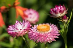 Garten-Strohblume (bohnengarten) Tags: schweiz swiss switzerland eos 80d thurgau blume flower blüte bloom gartenstrohblume xerochrysum bracteatum strawflower