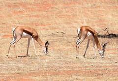 Springboks... on the red dunes of Kalahari (anacm.silva) Tags: springbok mammal gazelas wild wildlife nature natureza naturaleza africa namibia áfrica namíbia springboks intuafrikakalaharireserve kalaharidesert kalahari coth5