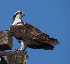 Osprey (ebeckes) Tags: osprey fishhawk