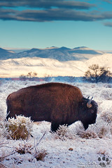 Free To Roam (rosacruzjl) Tags: bison buffalo colorado denver rockymountainarsenalnationalwildliferefuge winter animal cold frost habitat snow wildlife