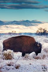 Free To Roam (rosacruzjl) Tags: bison buffalo colorado denver rockymountainarsenalnationalwildliferefuge winter animal cold frost habitat snow wildlife