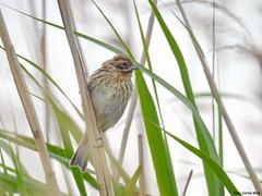 Reed Bunting, juvenile (Corine Bliek) Tags: emberizaschoeniclus vogel vogels natuur nature bird birds reeds rietlanden wetlands jong youth juveniel