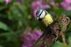 Blue tit (david.england18) Tags: bluetit smallbirds various tits blue great coal localpark queensparkheywood canon7d canonef300mmf4lisusm birdsuk himalayanbalsam