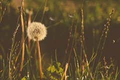 Make a Wish (tanyalinskey) Tags: warm art plant wild nature macro sonya6000 goldenlight makeawish seeds dandelion sunset grass field grassland