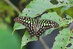 Tailed Jay (sreejithkallethu) Tags: tailedjay butterflies butterfliesofkerala kollam kerala