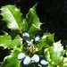 holly with blue berries, downtown Julian, black background