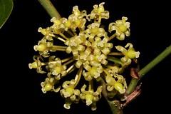 Smilax australis (andreas lambrianides) Tags: smilaxaustralis smilacaceae australisvarlatifolia smilaxelliptica australsarsaparilla australianflora australiannativeplants australianrainforests australianrainforestplants australianrainforestflowers arfflowers arfp warfp qrfp ntrfp cyrfp lowlandarf uplandarf greenarfflowers