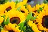 Ηλιοτρόπια (sifis) Tags: flowers yellow sakalak nature greece nikon