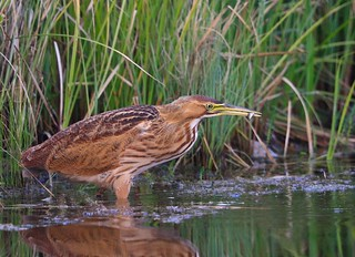 American Bittern fishing. This is a rare occasion to see one in Hermitage Park. Thanks Len for the information.