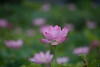 20170824 小山田神社【大賀蓮】 (syashindorakunin) Tags: 花 nelumbonucifera oyamadashintoshrine ハス 蓮 大賀蓮 小山田神社 lotus japan