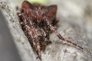 Angular Orbweb Spider (Araneus angulatus)