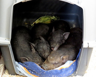 Vietnamese Pot-belly Piglets