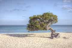 Divi Divi Tree (G-daddyArt) Tags: aruba dividivi sand shadow eaglebeach ocean sky cloudscape canon50d