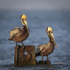 Brown Pelicans (rickdunlap2) Tags: pelecanusoccidentalis brownpelican pelican bird animal wildlife texascitydike