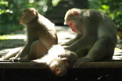 Chill monkey - Kaohsiung (Chapo78) Tags: taiwan kaohsiung green monkey nature