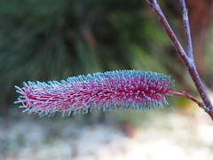 Grevillia magnifica - Maranoa Gardens (Mimi_K) Tags: maranoagardens melbourne australianplants spring flowering grevilliamagnifica pinkpokers proteaceae