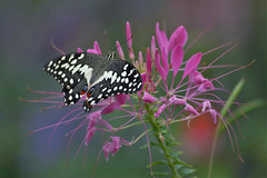 ***** (rvtn) Tags: butterfly butterflies pink insects insect flowers flower nature bokeh cleome