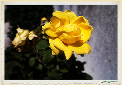 IMG_0702_Yellow Rose (Ajax_pt/Zecaetano) Tags: roses yellow rosas rosa amarela canon gx5