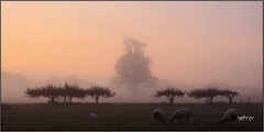 Something  Good In Everything We See (Picture post.) Tags: sunrise mist trees sheep fields summer silhouettes symmetry balance tones morning paysage arbre brume landscape nature green