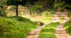 Young wild boar (Leen Goudappel) Tags: wild nature veluwe kroondomein netherlands nederland holland natuur photography fotografie wildlifephotography photo canon eos 750d sigma 150600mm bossen woods forest beautiful thisislife zwijn wildlife life love respect