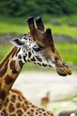 Rothschild Giraffe (Michael Döring) Tags: gelsenkirchen bismarck zoomerlebniswelt zoo rothschildgiraffe afs105mm14e d800 michaeldöring