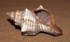 Trapezium horse conch (Pleuroploca trapezium) under side (shadowshador) Tags: trapezium horse conch pleuroploca neomura eukaryota opisthokonta holozoa filozoa animalia lophotrochozoa mollusca conchifera gastropoda gastropod gastropods orthogastropoda orthogastropod orthogastropods neogastropoda neogastropod neogastropods buccinoidea fasciolariidae fasciolariinae conchology malacology invertebrate invertebrates taxonomy scientific classification biology sea snail snails shell shells sand sandy beach wildlife life