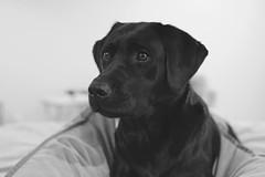 Softly Watching (8harpem) Tags: dog dogs puppy portrait labradorretriever bw monochrome hunde perros labrador noiretblanc