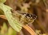 Heliopyrgas domicella willi (Plötz, 1884) macho (robertoguerra10) Tags: heliopyrgas domicella willi hesperiidae pyrginae
