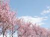 cherry blossom (kristalT) Tags: cherry blossom sakura trees flowers flowerpicturesnolimits nature garden japanese spring pink