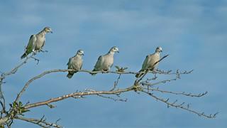 Doves on Branch 213 B