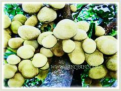 A prolific tree of Artocarpus heterophyllus with numerous fruitst (jayjayc) Tags: flickr17 jaycjayc malaysia kualalumpur artocarpusheterophyllus jackfruit jacktree jakfruit nangkainmalay tropicalplant floweringplants yellow green perennials fruits trees