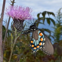 Eastern Black Swallowtail Butterfly (esywlkr) Tags: butterfly pisgah nationalforest haywoodcounty nc wnc northcarolina nature easternblackswallowtail thistle