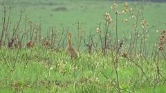Rhynchotus rufescens - perdiz (Conexão Selvagem) Tags: observaçãodeaves serra canastra parque nacional cerrado aves bird wildlife galito rapina gavião