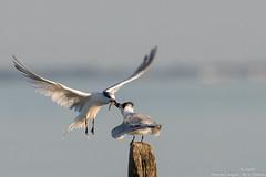 Sternes Caugek (gilbert.calatayud) Tags: charadriiformes laridés sandwichtern sternecaugek thalasseussandvicensis bird oiseau ile d oléron
