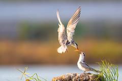Whiskered tern (Chlidonias hybridus) 须浮鸥 xū fú ōu (China (Jiangsu Taizhou)) Tags: nikon d5 800mm f56 vr afsnikkor800mmf56eflvr 2017 china birdsofchina birdsofjiangsu yangzhou wildlife birding shorebird birds bird whiskeredtern chlidoniashybridus 须浮鸥 xūfúōu ngc nationalgeographic birdwatching birdwatcher forest lake pond chlidoniashybrida