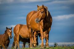 Shiny H (DuD82) Tags: horse nature animal naturepark croatia nikond3300 nikon 300mm lonjskopolje