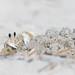 Ghost Crab Housekeeping: Suburban (Scott Mu/lens) Tags: ghostcrab atlanticghostcrab wrightsvillebeach
